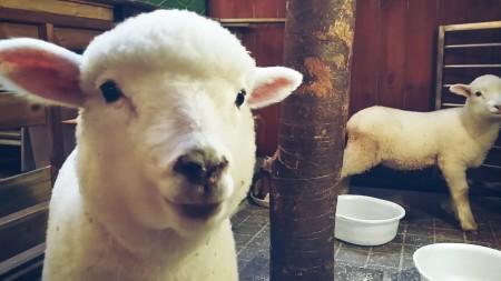 09. sheep first visit