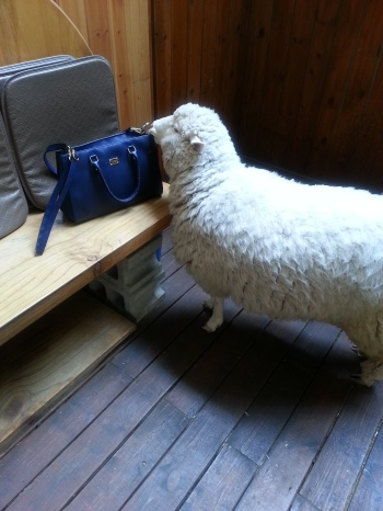 The sheep went to chew on my bag!