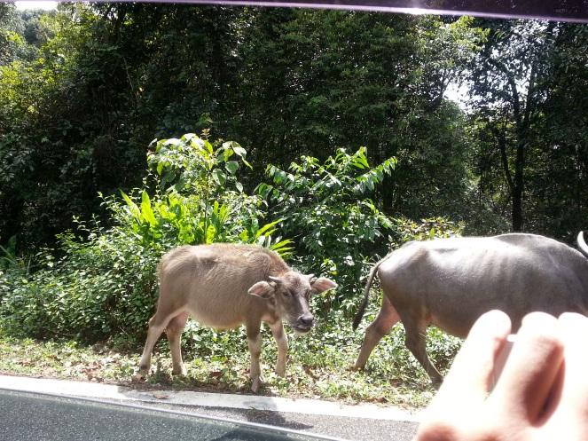 Cows roaming